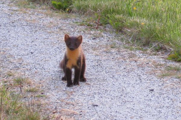 Pine Marten near Cottage