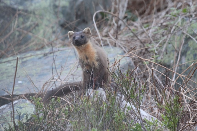 Pine Marten on the Rocks