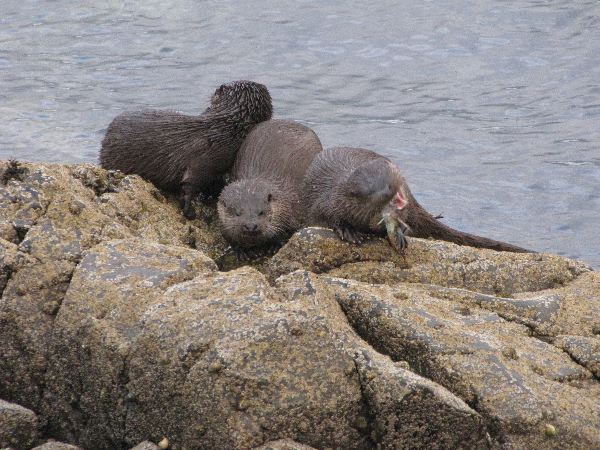 Otter Family at Kyleakin